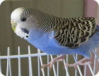 Budgie for adoption in Edgerton, Wisconsin - Clancy & Pickles