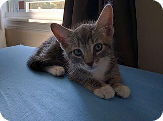 Domestic Shorthair Kitten for adoption in Brooklyn, New York - Mingus