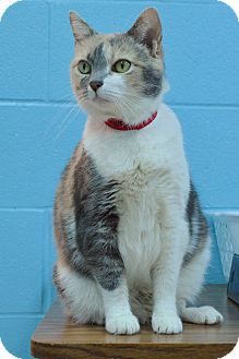 Calico Cat for adoption in Evansville, Indiana - Molly