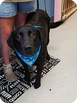 Labrador Retriever Mix Dog for adoption in Maryville, Illinois - Ace