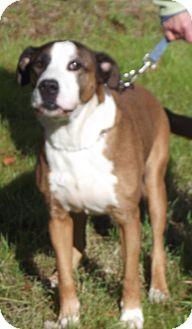 Pit Bull Terrier Mix Dog for adoption in Cheboygan, Michigan - captain
