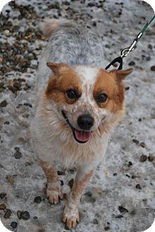 Australian Cattle Dog/Corgi Mix Dog for adoption in Berea, Ohio - Frosty