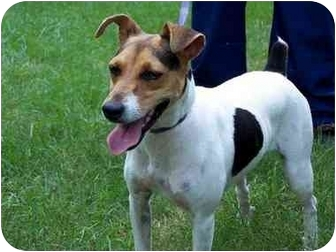 Rat Terrier Mix Puppy for adoption in Albany, Georgia - Layla