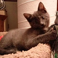 Adopt A Pet :: 10 week old kitten-gray female - New City, NY