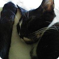 Adopt A Pet :: Sheratin - Tampa, FL
