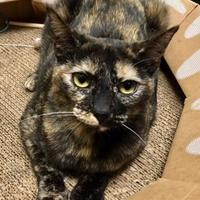 Domestic Shorthair/Domestic Shorthair Mix Cat for adoption in Long Beach, California - Zelda