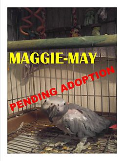 African Grey for adoption in Vancouver, Washington - Maggie-May African Grey