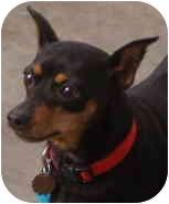 Miniature Pinscher Dog for adoption in House Springs, Missouri - Gabrielle