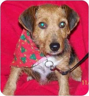 Norfolk Terrier Mix Dog for adoption in Aledo, Illinois - Midge