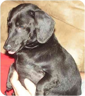 Dachshund Dog for adoption in Williamsburg, Virginia - Junior
