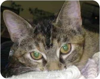 Domestic Shorthair Cat for adoption in Alden, Iowa - Harley