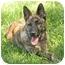 Photo 1 - Australian Cattle Dog/Belgian Shepherd Mix Puppy for adoption in Santa Rosa, California - Travis (SIAR foster)