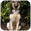 Photo 3 - German Shepherd Dog Dog for adoption in Los Angeles, California - Meadow von Meisenstadt