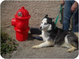 Husky Dog for adoption in Las Vegas, Nevada - ALISHA