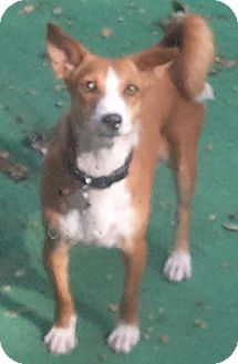 Basenji/Dachshund Mix Dog for adoption in Seminole, Florida - Mandy