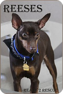 Miniature Pinscher Mix Dog for adoption in Rockwall, Texas - Reeses