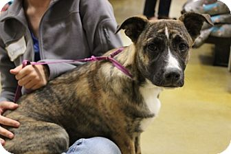 Bull Terrier/German Shepherd Dog Mix Puppy for adoption in Gainesville, Florida - Hunter Lily