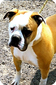 Bulldog Dog for adoption in New Orleans, Louisiana - Doogie