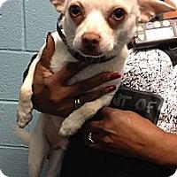 Adopt A Pet :: Goose - Spring City, PA