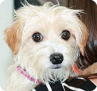 Maltese Mix Dog for adoption in Berkeley, California - Tony