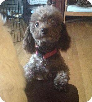 Poodle (Miniature) Dog for adoption in Beachwood, Ohio - Bambi