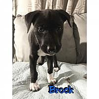 Adopt A Pet :: Brock - Marlton, NJ