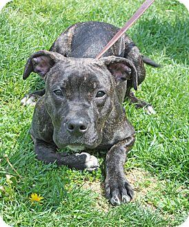 Pit Bull Terrier Dog for adoption in Harrisonburg, Virginia - Primrose