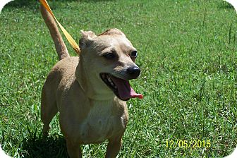 Chihuahua/Terrier (Unknown Type, Small) Mix Dog for adoption in Odessa, Florida - JACIE