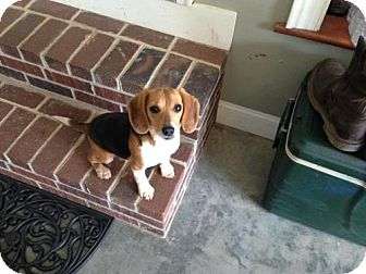 Beagle Dog for adoption in Lincolndale, New York - Stella!