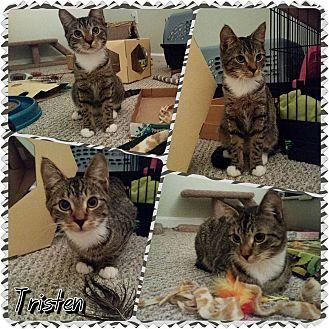 Domestic Shorthair Kitten for adoption in Winchester, Virginia - Tristan
