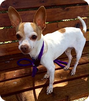 Chihuahua/Jack Russell Terrier Mix Dog for adoption in Surrey, British Columbia - Baxter