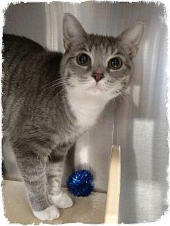 Domestic Shorthair Cat for adoption in Pueblo West, Colorado - White Socks
