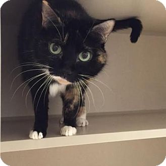 Domestic Shorthair Cat for adoption in Denver, Colorado - Kiwi