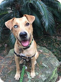 Labrador Retriever/Rhodesian Ridgeback Mix Dog for adoption in Houston, Texas - Landry
