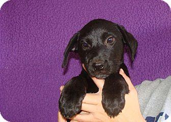 Labrador Retriever/Golden Retriever Mix Puppy for adoption in Oviedo, Florida - Wiz