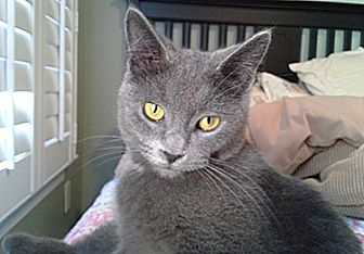 Domestic Shorthair Cat for adoption in Youngsville, North Carolina - Shayla