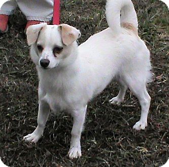 American Eskimo Dog/Chihuahua Mix Dog for adoption in Maynardville, Tennessee - Bailey