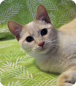Siamese Kitten for adoption in Greensboro, North Carolina - Sammy