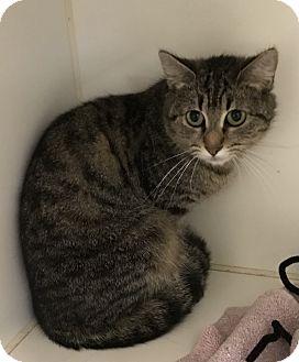 Domestic Shorthair Cat for adoption in Greensboro, North Carolina - Fluffy Lady
