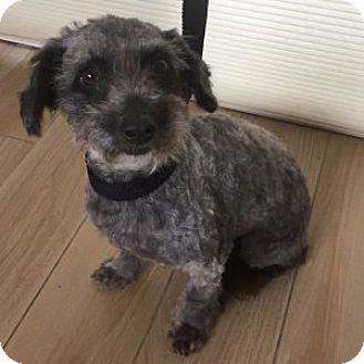 Schnauzer (Miniature)/Poodle (Miniature) Mix Dog for adoption in Redondo Beach, California - Lindsay