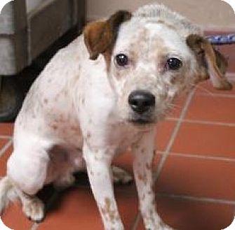 Australian Cattle Dog Mix Dog for adoption in Daytona Beach, Florida - Beau