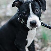 Adopt A Pet :: Thor $250 - Seneca, SC
