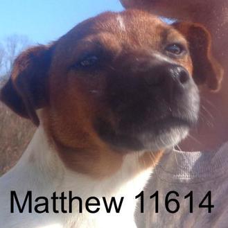 Jack Russell Terrier Mix Dog for adoption in Manassas, Virginia - Matthew