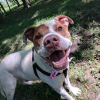 Adopt A Pet :: Hugo - Kansas City, MO