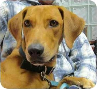 Labrador Retriever/Basset Hound Mix Dog for adoption in Portsmouth, Rhode Island - Journey