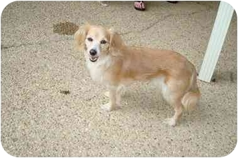 Dachshund/Spaniel (Unknown Type) Mix Dog for adoption in Baton Rouge, Louisiana - Prissy