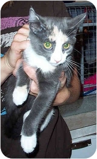 Calico Kitten for adoption in Randolph, New Jersey - Tulip