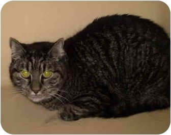 American Shorthair Cat for adoption in Westport, Connecticut - Kitty
