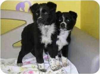 Shepherd (Unknown Type)/Boxer Mix Puppy for adoption in HARRISONVILLE, Missouri - langston/laurabel