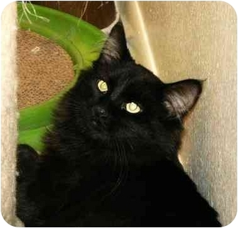 Maine Coon Cat for adoption in Scottsdale, Arizona - Bitti wags his tail!